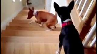 Dog Doesn't Understand How To Go Up Stairs