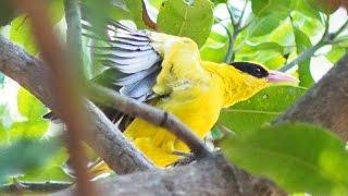Video Suara burung Kepodang Merdu Bangat #yang masih liar dan foto aslinya [HD]. download MP3, 3GP, MP4, WEBM, AVI, FLV Maret 2018