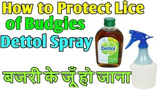 How to Protect of Lice of Budgies and Dettol Spray
