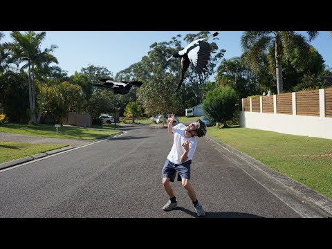 MAGPIES ATTACKED US! | the swooping magpie challenge