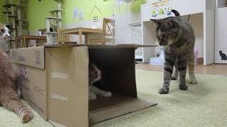【猫カフェあいきゃっと福島店】みやび!出ておいでー thumbnail