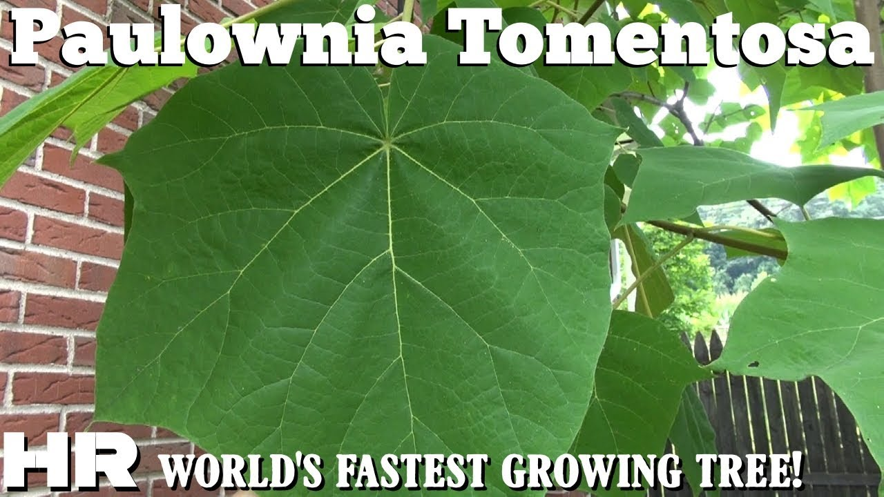 EMPRESS TREE - Paulownia Tomentosa Fastest growing tree in ...