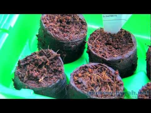 Time To Grow Some Weed (How To Germinate Cannabis Seeds)