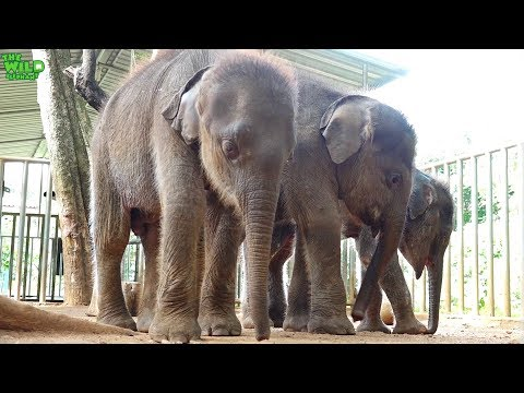Three cute baby elephants are waiting to join a new elephant herd or a home