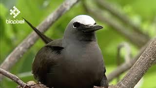 Oceanpedia   Critter finder   Birds   White capped noddy