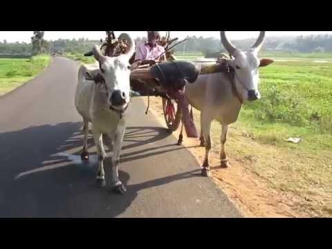 Old Indian's Tourister(Bullock Cart Tangalle) - Incredible India