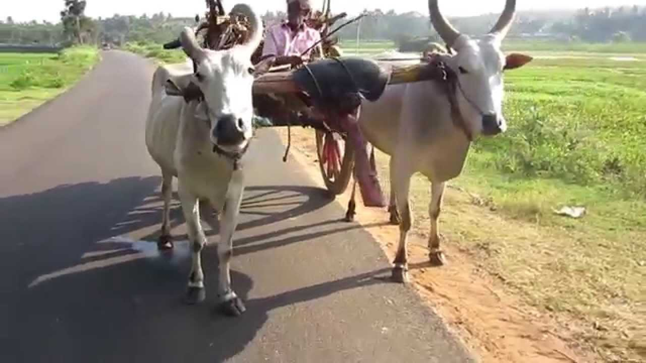 Dual Cattle Carts Missing In Agriculture