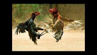 देसी मुर्गी  और मुर्गा Desi Murga murgi 🐣