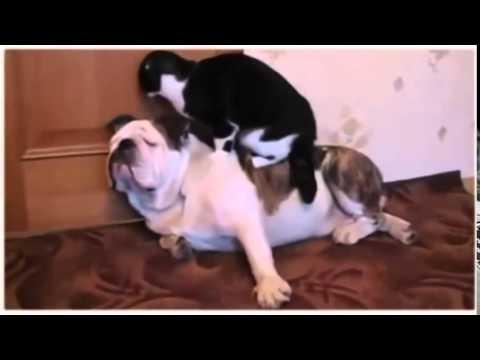 Английский бульдог — смешное видео