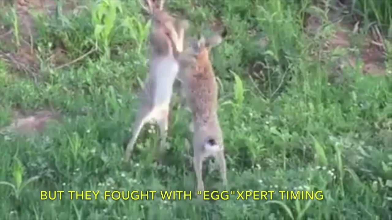 b351d2e16 Every bunny was kung fu fighting - YouTube