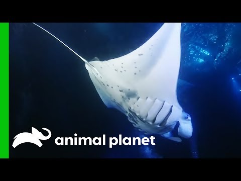 Giant 10ft Manta Rays Feast On Glowing Plankton