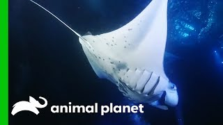 Video Giant 10ft Manta Rays Feast On Glowing Plankton download MP3, 3GP, MP4, WEBM, AVI, FLV Oktober 2018