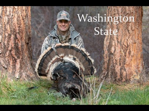 Washington Turkey Hunting- Eastern Washington Merriams Turkey