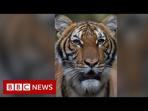 Coronavirus: Tiger at Bronx Zoo tests positive for Covid-19 - BBC News