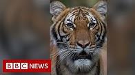 Coronavirus Tiger at Bronx Zoo tests positive for Covid-19 - BBC News