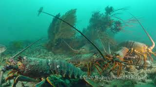California Lobster Season Opening Day 2020