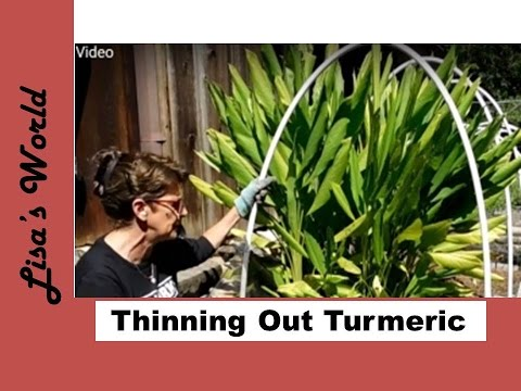 How To Harvest Turmeric Roots For Drying and Transplanting