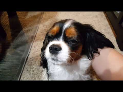 Daily Massage Session - Cavalier King Charles Spaniel