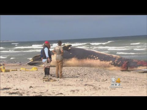 Dead Whale Washes Up On Duxbury Beach