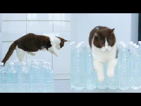 How Far Can Munchkin Cat Jump? - Oh Kitten!