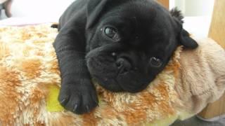 Coco Falling Asleep - Tiny Black Pug Puppy