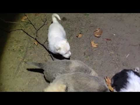 Kugalmondors (Kuvasz Kangal Komondor mix) puppy's after 5 weeks