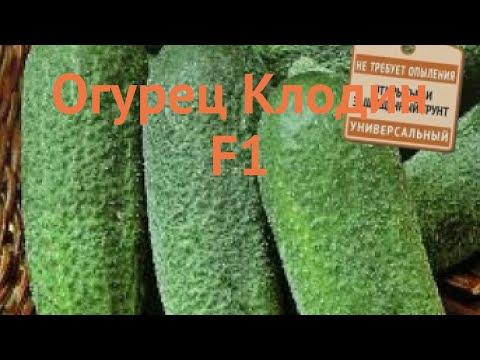 Огурец обыкновенный Клодин F1 (klodin f1) 🌿 Клодин F1 обзор: как сажать, семена огурца Клодин F1