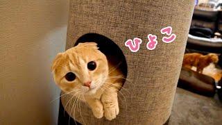 爪研ぎタワーから顔を出す短足猫があざといw