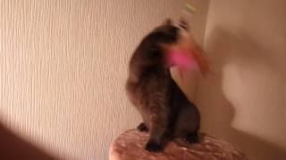 Шоколадный британский котенок Quickly