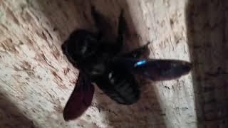 Пчела плотник 5