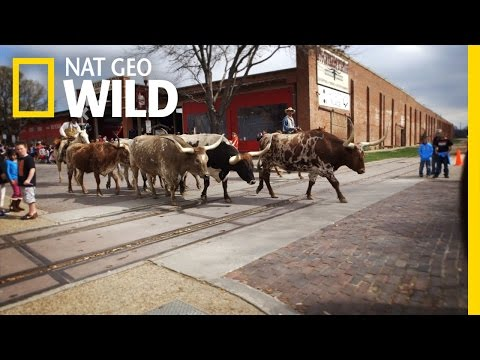 Tough Texas Longhorns | United States Of Animals