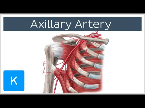 Axillary Artery - Definition, Branches and Anatomy - Human Anatomy | Kenhub