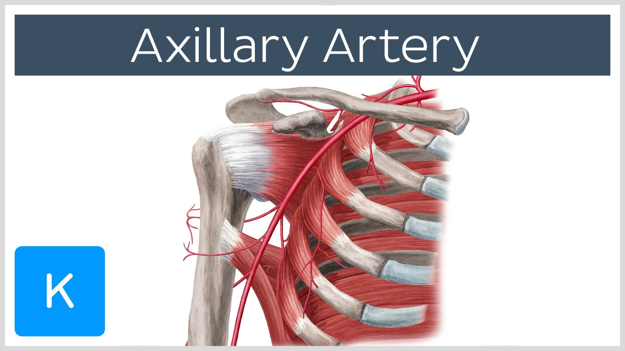 Axillary Artery Location Branches Human Anatomy Kenhub Youtube