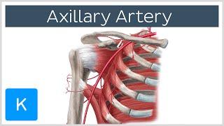 Axillary Artery - Definition, Branches and Anatomy - Human Anatomy |Kenhub