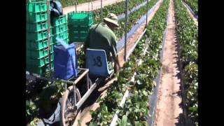 How Strawberries Are Planted, Grown, Picked and Packed Before Being Sent To The Supermarket