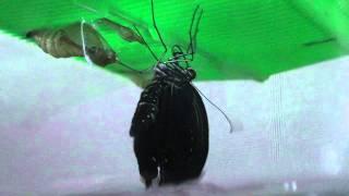 アゲハチョウの羽化の様子です。 我が家で幼虫から飼っていたクロアゲハ...