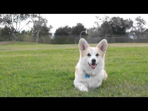 корги (Вельш-корги,) :: собака / смешные картинки и другие