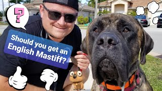 Is the English Mastiff the right breed for you and your family?