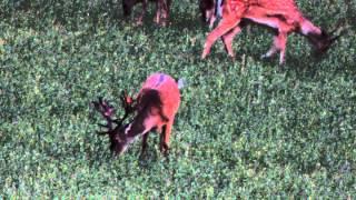 Sunset Young Deer - Giovane Cervo In Notturna - Sperticano - Bologna