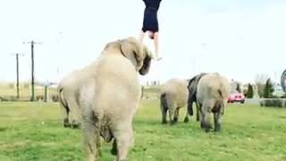 New types of flips with elephant.....Indian Circus