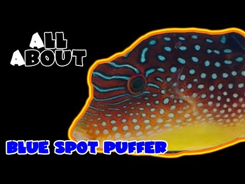 All About The Blue Spotted Puffer Or Blue Dot Toby