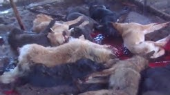 ✦PETS DOGS CLUBBED TO DEATH FOR CHINESE RESTAURANTS✦