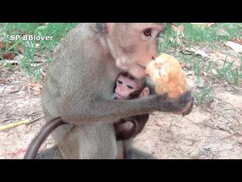 Baby Monkey Nurse Mom Find Food At Angkor Way - Rain And April 13