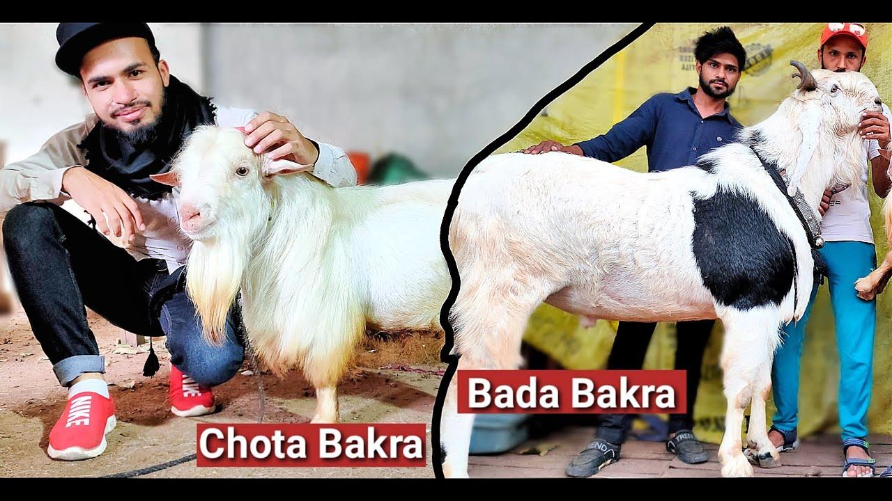 Bada Bakra and Chota Bakra 2020 - AL Aamir Khan | Mak Goat Farm Bhopal
