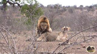 True Lion Love