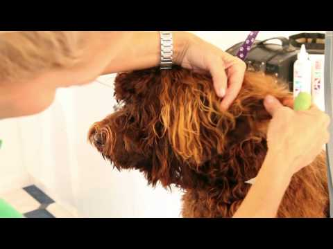 Royal Diamond Labradoodles, Tips on Grooming the Ears.mov