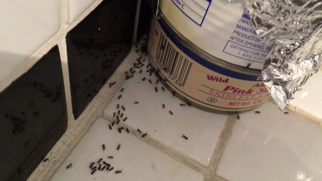Homemade Ant Trap — Killing Them with Borax Powder