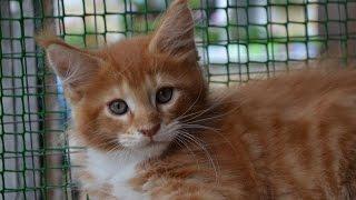 Янни. Видео мейн кун. Купить мейн кун котёнка