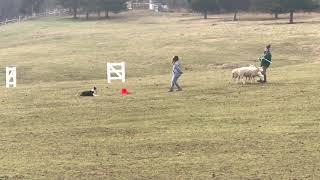 Arya's 1st Herding Lesson | December 11th, 2020