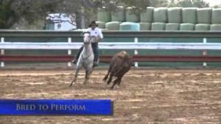 warrenbri cooper australian stock horse stallion import to us exported from australia